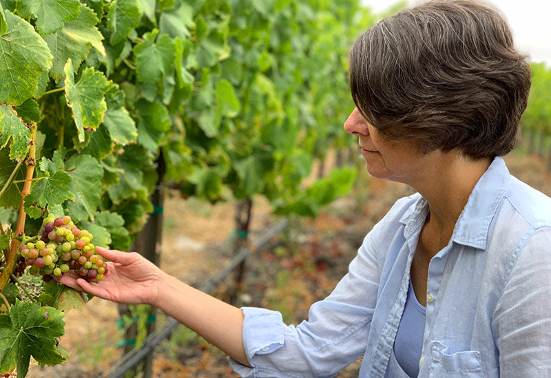 Checking the ripening of Grenache grape clusters at Bee Sweet Vineyard in Edna Valley, California