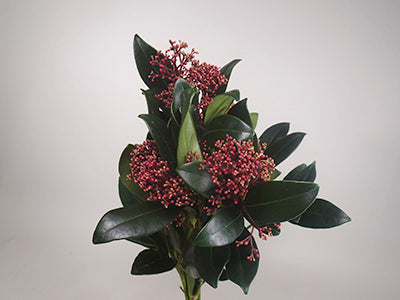 Skimmia Collection