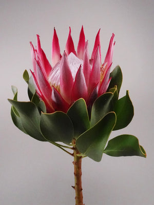 Protea Collection