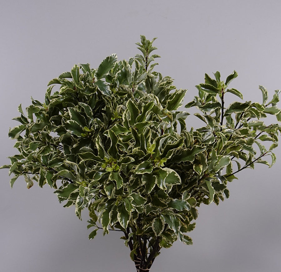 Pittosporum Per Bunch