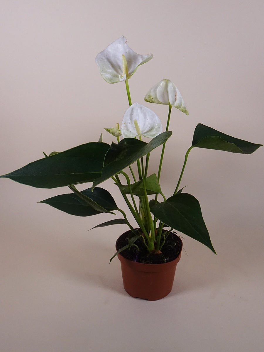 Anthurium plant White