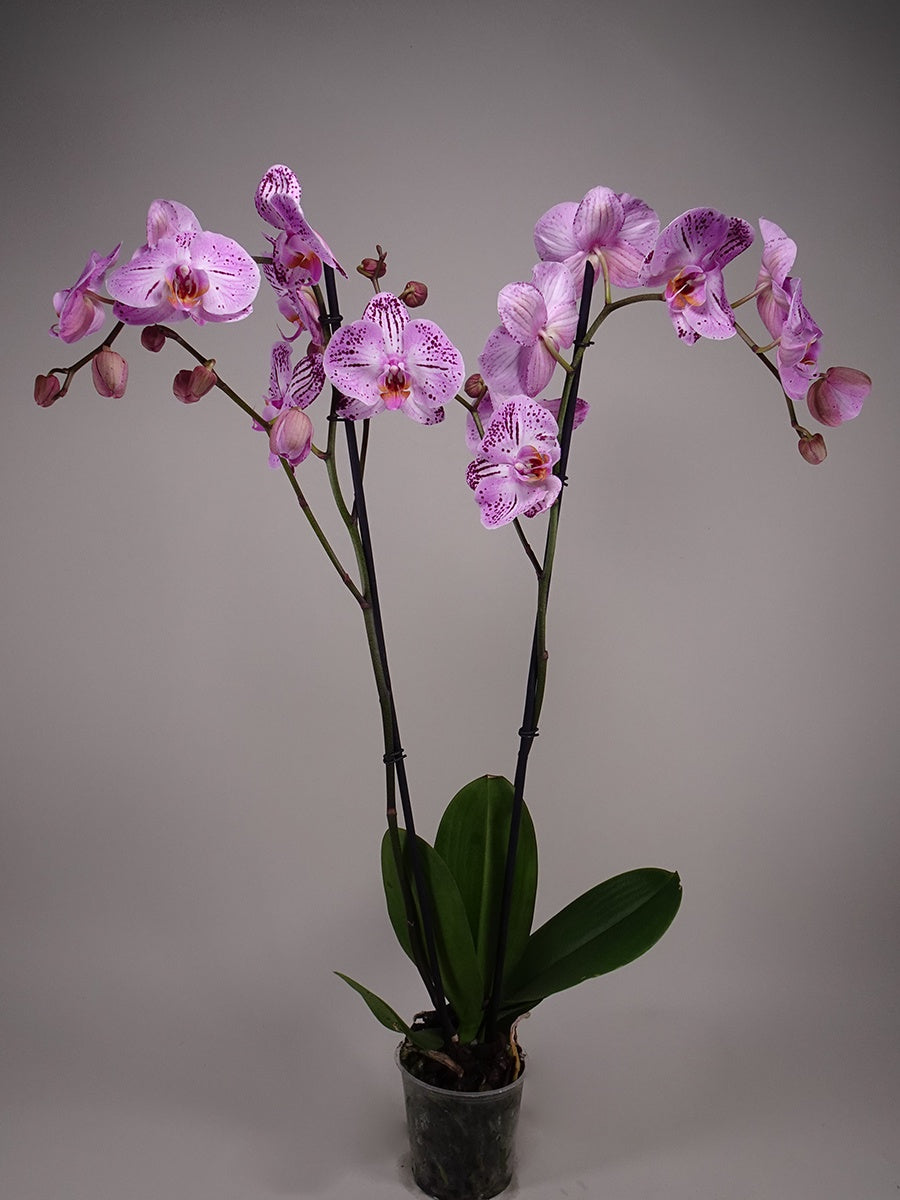 Phalaenopsis Orchid  Pink