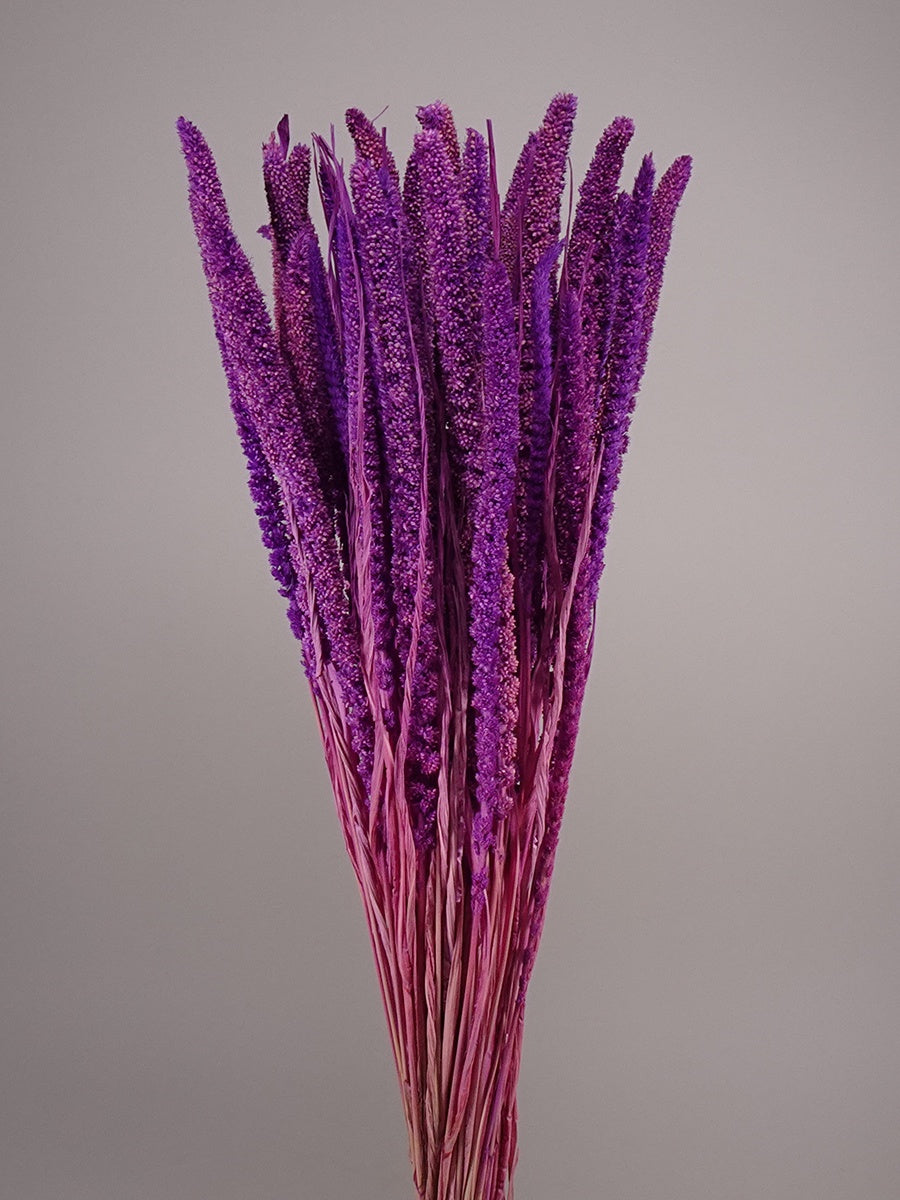 Dried setaria paint purple
