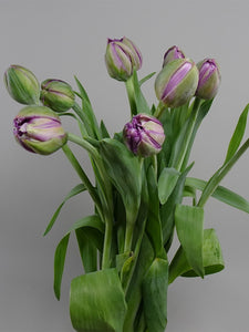 Tulip Double  Purple