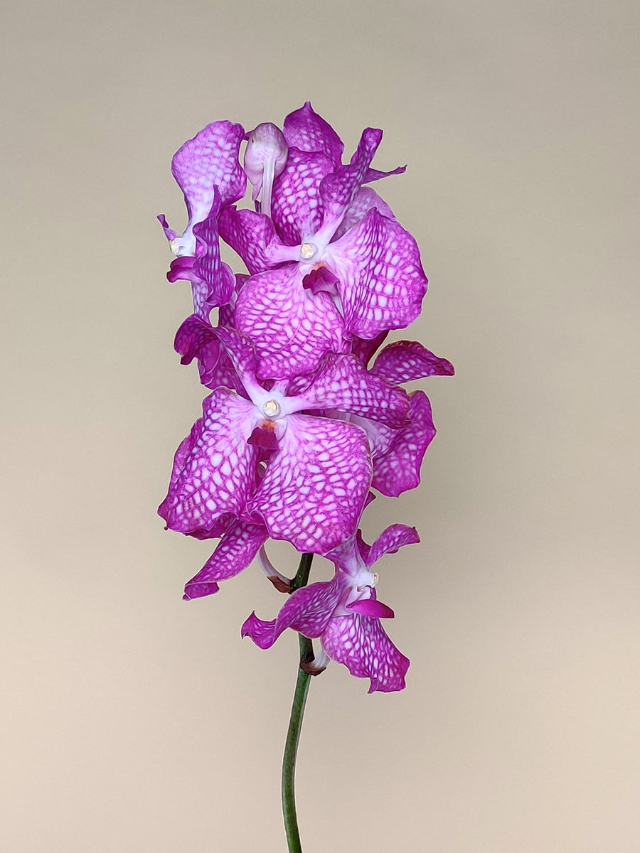 Vanda Collection