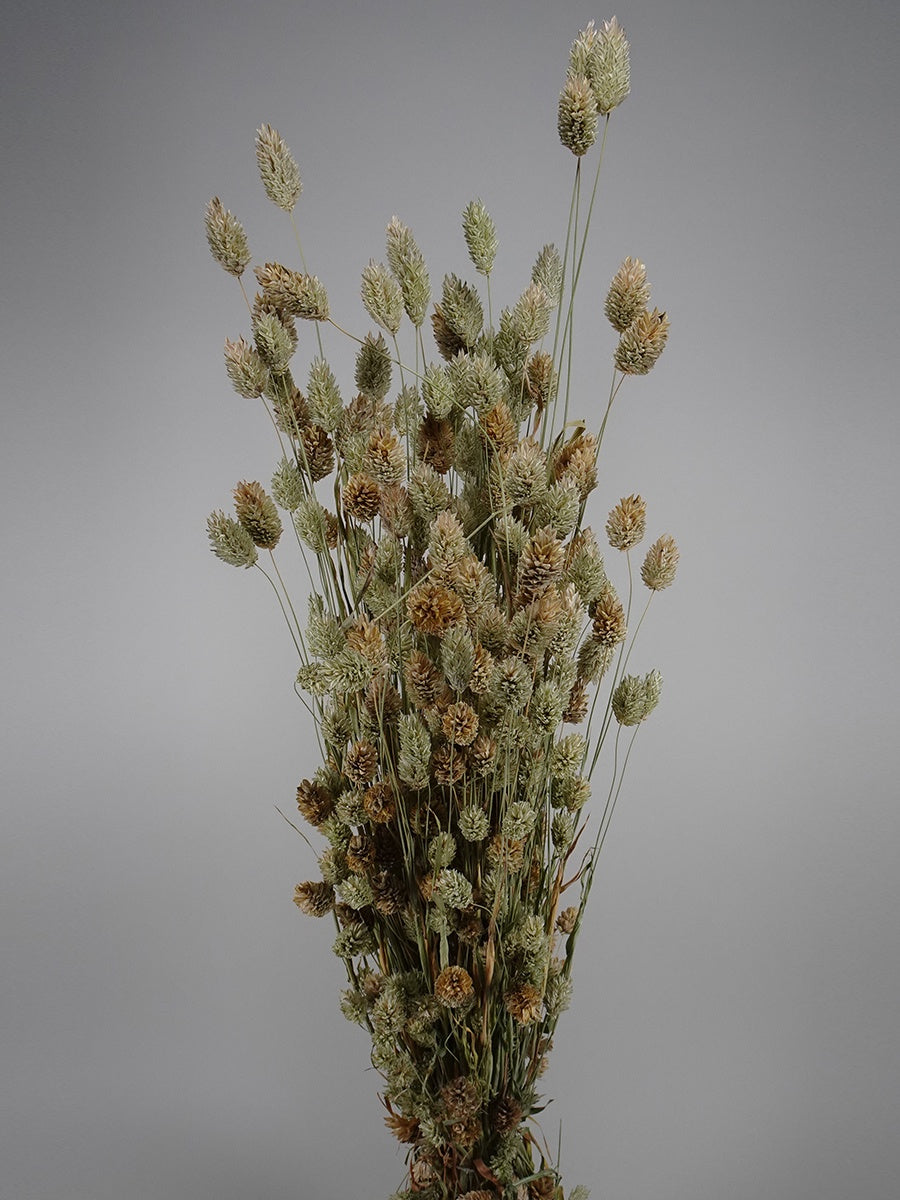 Dried Phalaris Natural Green