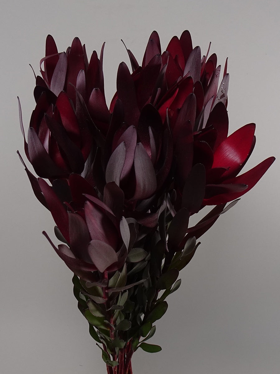 Leucadendron Safari Sunset