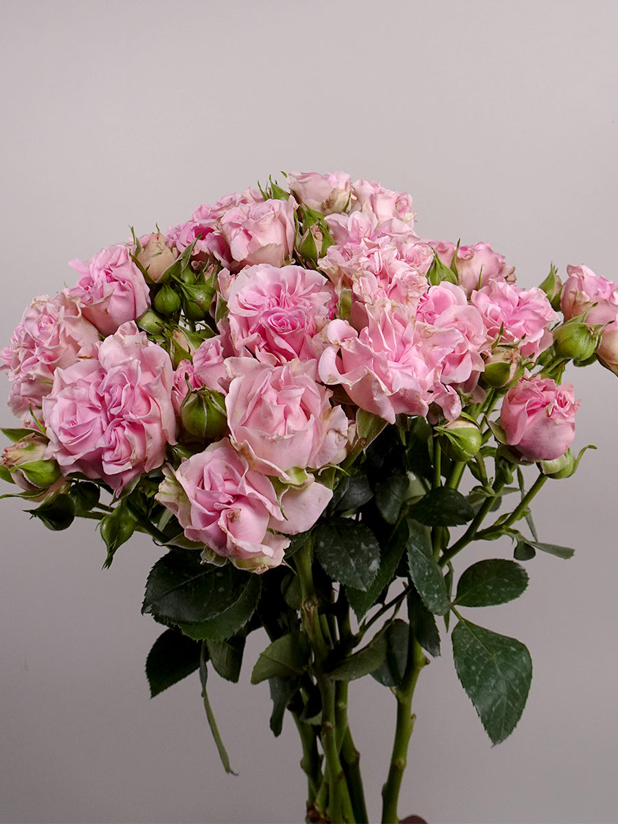 Garden Spray Roses Collection