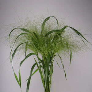 Panicum Fountain