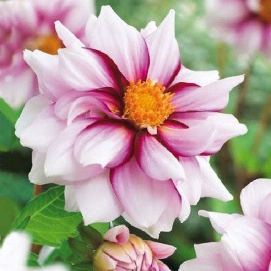 SELECT COLLECTION - Dahlia Edge of Joy Bulbs (2 in Pack)