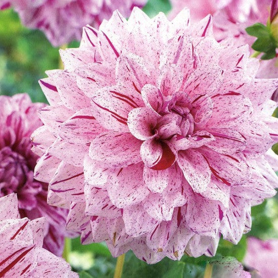 SELECT COLLECTION - Dahlia Painted Lady (2 in Pack)