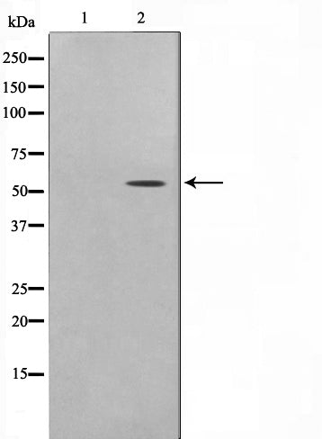 AF0652 staining K-562 cells by IF/ICC. The sample were fixed with PFA and permeabilized in 0.1% Triton X-100,then blocked in 10% serum for 45 minutes at 25¡ãC. The primary antibody was diluted at 1/200 and incubated with the sample for 1 hour at 37¡ãC. An  Alexa Fluor 594 conjugated goat anti-rabbit IgG (H+L) antibody(Cat.