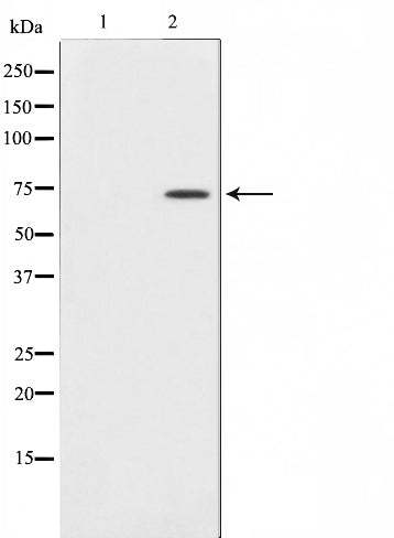 AF0598 staining NIH-3T3 cells by IF/ICC. The sample were fixed with PFA and permeabilized in 0.1% Triton X-100,then blocked in 10% serum for 45 minutes at 25¡ãC. The primary antibody was diluted at 1/200 and incubated with the sample for 1 hour at 37¡ãC. An  Alexa Fluor 594 conjugated goat anti-rabbit IgG (H+L) antibody(Cat.