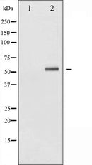 AF3035 staining 293 by IF/ICC. The sample were fixed with PFA and permeabilized in 0.1% Triton X-100,then blocked in 10% serum for 45 minutes at 25¡ãC. The primary antibody was diluted at 1/200 and incubated with the sample for 1 hour at 37¡ãC. An  Alexa Fluor 594 conjugated goat anti-rabbit IgG (H+L) Ab, diluted at 1/600, was used as the secondary antibod