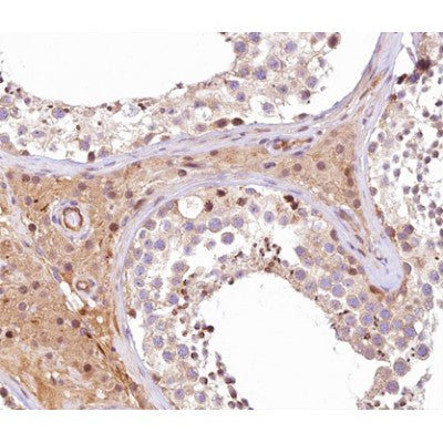 AF0425 at 1/100 staining human testis tissue sections by IHC-P. The tissue was formaldehyde fixed and a heat mediated antigen retrieval step in citrate buffer was performed. The tissue was then blocked and incubated with the antibody for 1.5 hours at 22¡ãC. An HRP conjugated goat anti-rabbit antibody was used as the secondary