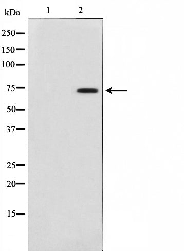 AF0691 staining 293 by IF/ICC. The sample were fixed with PFA and permeabilized in 0.1% Triton X-100,then blocked in 10% serum for 45 minutes at 25¡ãC. The primary antibody was diluted at 1/200 and incubated with the sample for 1 hour at 37¡ãC. An  Alexa Fluor 594 conjugated goat anti-rabbit IgG (H+L) Ab, diluted at 1/600, was used as the secondary antibod