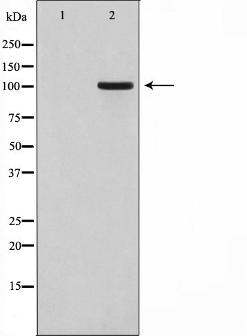 AF0664 staining HT29 by IF/ICC. The sample were fixed with PFA and permeabilized in 0.1% Triton X-100,then blocked in 10% serum for 45 minutes at 25¡ãC. The primary antibody was diluted at 1/200 and incubated with the sample for 1 hour at 37¡ãC. An  Alexa Fluor 594 conjugated goat anti-rabbit IgG (H+L) Ab, diluted at 1/600, was used as the secondary antibod