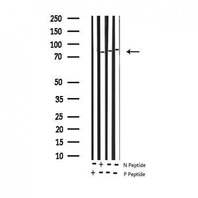 AF3012 staining 293 by IF/ICC. The sample were fixed with PFA and permeabilized in 0.1% Triton X-100,then blocked in 10% serum for 45 minutes at 25¡ãC. The primary antibody was diluted at 1/200 and incubated with the sample for 1 hour at 37¡ãC. An  Alexa Fluor 594 conjugated goat anti-rabbit IgG (H+L) Ab, diluted at 1/600, was used as the secondary antibod