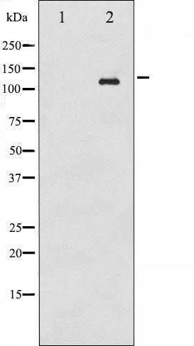 AF3039 staining COS7 by IF/ICC. The sample were fixed with PFA and permeabilized in 0.1% Triton X-100,then blocked in 10% serum for 45 minutes at 25¡ãC. The primary antibody was diluted at 1/200 and incubated with the sample for 1 hour at 37¡ãC. An  Alexa Fluor 594 conjugated goat anti-rabbit IgG (H+L) Ab, diluted at 1/600, was used as the secondary antibod