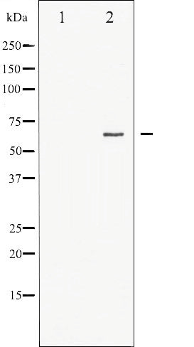 AF3057 staining 293 by IF/ICC. The sample were fixed with PFA and permeabilized in 0.1% Triton X-100,then blocked in 10% serum for 45 minutes at 25¡ãC. The primary antibody was diluted at 1/200 and incubated with the sample for 1 hour at 37¡ãC. An  Alexa Fluor 594 conjugated goat anti-rabbit IgG (H+L) Ab, diluted at 1/600, was used as the secondary antibod