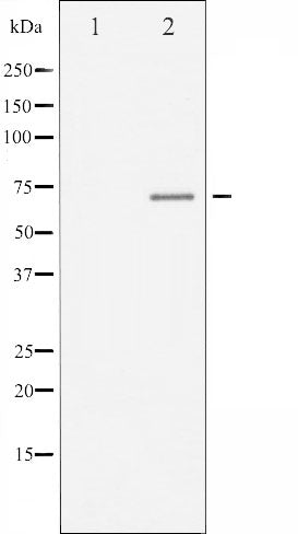 AF3060 staining 293 by IF/ICC. The sample were fixed with PFA and permeabilized in 0.1% Triton X-100,then blocked in 10% serum for 45 minutes at 25¡ãC. The primary antibody was diluted at 1/200 and incubated with the sample for 1 hour at 37¡ãC. An  Alexa Fluor 594 conjugated goat anti-rabbit IgG (H+L) Ab, diluted at 1/600, was used as the secondary antibod