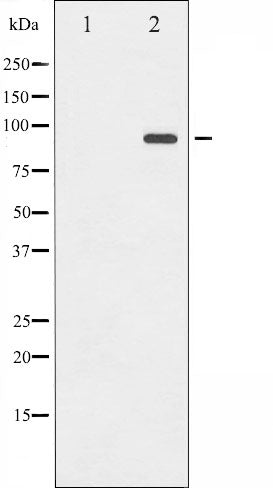 AF3088 staining HepG2 by IF/ICC. The sample were fixed with PFA and permeabilized in 0.1% Triton X-100,then blocked in 10% serum for 45 minutes at 25¡ãC. The primary antibody was diluted at 1/200 and incubated with the sample for 1 hour at 37¡ãC. An  Alexa Fluor 594 conjugated goat anti-rabbit IgG (H+L) Ab, diluted at 1/600, was used as the secondary antibod
