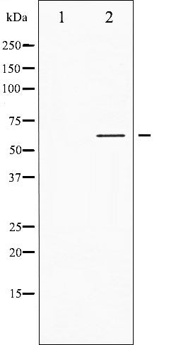 AF3100 staining Hela by IF/ICC. The sample were fixed with PFA and permeabilized in 0.1% Triton X-100,then blocked in 10% serum for 45 minutes at 25¡ãC. The primary antibody was diluted at 1/200 and incubated with the sample for 1 hour at 37¡ãC. An  Alexa Fluor 594 conjugated goat anti-rabbit IgG (H+L) Ab, diluted at 1/600, was used as the secondary antibod