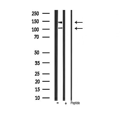 AF3123 staining 293 by IF/ICC. The sample were fixed with PFA and permeabilized in 0.1% Triton X-100,then blocked in 10% serum for 45 minutes at 25¡ãC. The primary antibody was diluted at 1/200 and incubated with the sample for 1 hour at 37¡ãC. An  Alexa Fluor 594 conjugated goat anti-rabbit IgG (H+L) Ab, diluted at 1/600, was used as the secondary antibod