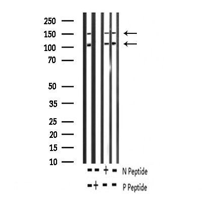 AF3125 staining 293 by IF/ICC. The sample were fixed with PFA and permeabilized in 0.1% Triton X-100,then blocked in 10% serum for 45 minutes at 25¡ãC. The primary antibody was diluted at 1/200 and incubated with the sample for 1 hour at 37¡ãC. An  Alexa Fluor 594 conjugated goat anti-rabbit IgG (H+L) Ab, diluted at 1/600, was used as the secondary antibod