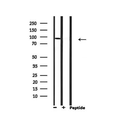 Western blot analysis of extracts from 293, using MCM5 Antibody.