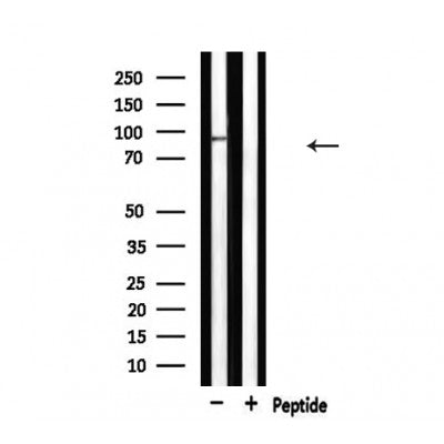 Western blot analysis of extracts from HepG2, using MCM5 Antibody.