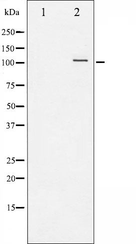 AF3221 staining HeLa by IF/ICC. The sample were fixed with PFA and permeabilized in 0.1% Triton X-100,then blocked in 10% serum for 45 minutes at 25¡ãC. The primary antibody was diluted at 1/200 and incubated with the sample for 1 hour at 37¡ãC. An  Alexa Fluor 594 conjugated goat anti-rabbit IgG (H+L) Ab, diluted at 1/600, was used as the secondary antibod