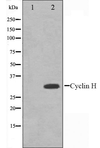 Western blot analysis on HeLa cell lysate using Cyclin H Antibody.The lane on the left is treated with the antigen-specific peptide.
