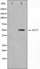 Western blot analysis on HeLa cell lysate using OCT3 Antibody. The lane on the left is treated with the antigen-specific peptide.