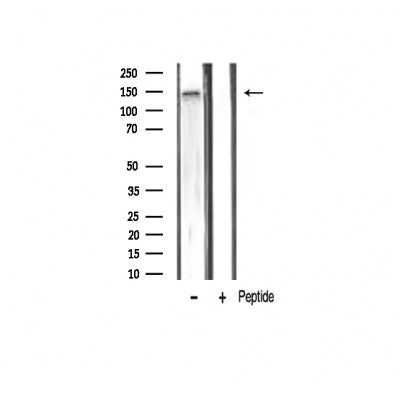 AF3279 staining K562 by IF/ICC. The sample were fixed with PFA and permeabilized in 0.1% Triton X-100,then blocked in 10% serum for 45 minutes at 25¡ãC. The primary antibody was diluted at 1/200 and incubated with the sample for 1 hour at 37¡ãC. An  Alexa Fluor 594 conjugated goat anti-rabbit IgG (H+L) Ab, diluted at 1/600, was used as the secondary antibod