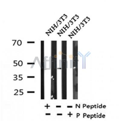 Western blot analysis of Phospho-TAZ (Ser89) in lysates of NIH/3T3, using Phospho-TAZ (Ser89) Antibody(AF4315).