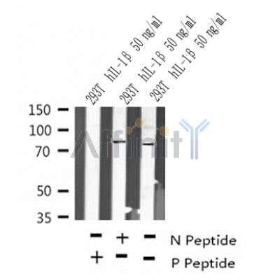 Western blot analysis of Phospho-TAB2(Ser450) in lysates of 293T  hIL-1 50 ng/ml, using Phospho-TAB2(Ser450) Antibody(AF4335).