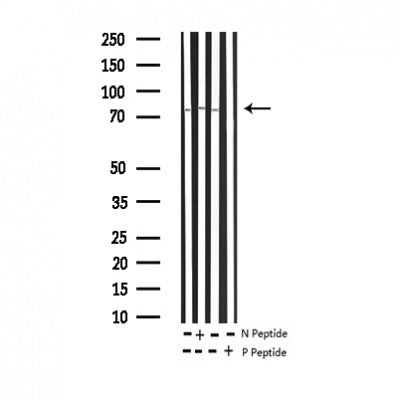AF3314 staining COS7 by IF/ICC. The sample were fixed with PFA and permeabilized in 0.1% Triton X-100,then blocked in 10% serum for 45 minutes at 25¡ãC. The primary antibody was diluted at 1/200 and incubated with the sample for 1 hour at 37¡ãC. An  Alexa Fluor 594 conjugated goat anti-rabbit IgG (H+L) Ab, diluted at 1/600, was used as the secondary antibod