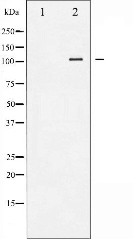 AF3403 staining HeLa cells by IF/ICC. The sample were fixed with PFA and permeabilized in 0.1% Triton X-100,then blocked in 10% serum for 45 minutes at 25¡ãC. The primary antibody was diluted at 1/200 and incubated with the sample for 1 hour at 37¡ãC. An  Alexa Fluor 594 conjugated goat anti-rabbit IgG (H+L) antibody(Cat.