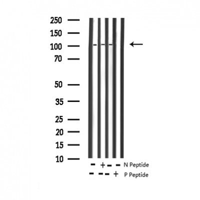 AF3373 staining RAW264.7 by IF/ICC. The sample were fixed with PFA and permeabilized in 0.1% Triton X-100,then blocked in 10% serum for 45 minutes at 25¡ãC. The primary antibody was diluted at 1/200 and incubated with the sample for 1 hour at 37¡ãC. An  Alexa Fluor 594 conjugated goat anti-rabbit IgG (H+L) Ab, diluted at 1/600, was used as the secondary antibod