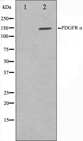 Western blot analysis on 293 cell lysate using PDGFRalpha Antibody,The lane on the left is treated with the antigen-specific peptide.