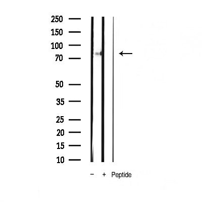 AF3441 staining Hela by IF/ICC. The sample were fixed with PFA and permeabilized in 0.1% Triton X-100,then blocked in 10% serum for 45 minutes at 25¡ãC. The primary antibody was diluted at 1/200 and incubated with the sample for 1 hour at 37¡ãC. An  Alexa Fluor 594 conjugated goat anti-rabbit IgG (H+L) Ab, diluted at 1/600, was used as the secondary antibod