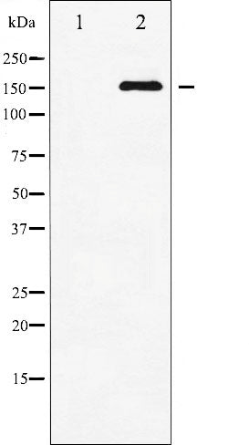 AF3476 staining MDA-MB-435 by IF/ICC. The sample were fixed with PFA and permeabilized in 0.1% Triton X-100,then blocked in 10% serum for 45 minutes at 25¡ãC. The primary antibody was diluted at 1/200 and incubated with the sample for 1 hour at 37¡ãC. An  Alexa Fluor 594 conjugated goat anti-rabbit IgG (H+L) Ab, diluted at 1/600, was used as the secondary antibod