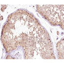 AF0275 at 1/100 staining human testis tissue sections by IHC-P. The tissue was formaldehyde fixed and a heat mediated antigen retrieval step in citrate buffer was performed. The tissue was then blocked and incubated with the antibody for 1.5 hours at 22¡ãC. An HRP conjugated goat anti-rabbit antibody was used as the secondary