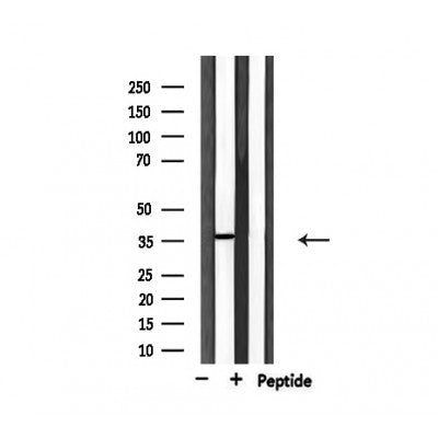 Western blot analysis of extracts from HepG2, using USF2 Antibody.