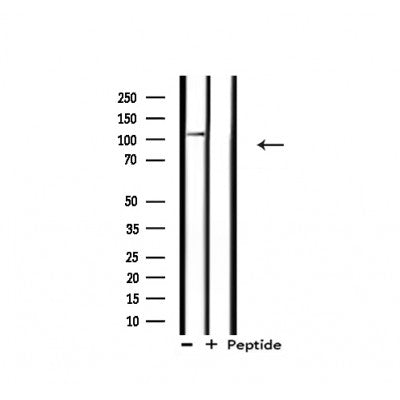 Western blot analysis of extracts from rat heart, using XPF Antibody.