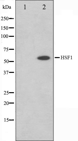 Western blot analysis on Jurkat cell lysate using HSF1 Antibody,The lane on the left is treated with the antigen-specific peptide.