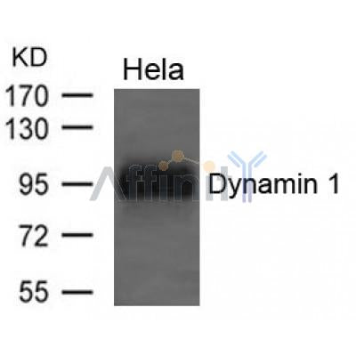 Western blot analysis of extracts from Hela cells using Dynamin 1 Antibody