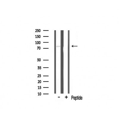 Western blot analysis of TBX3 expression in mouse brain lysate