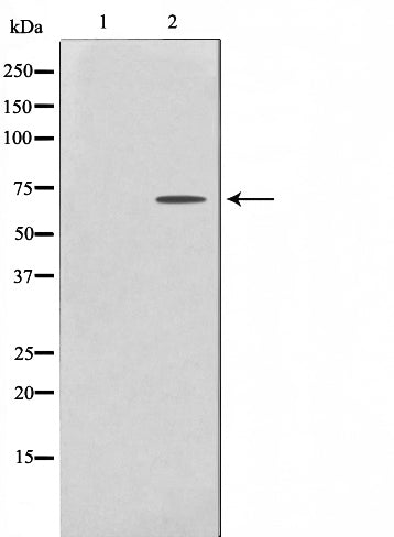 Western blot analysis on HeLa cell lysate using PHF1 Antibody.The lane on the left is treated with the antigen-specific peptide.